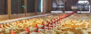 poultry house cooling, poultry farm cooling, chicken house cooling