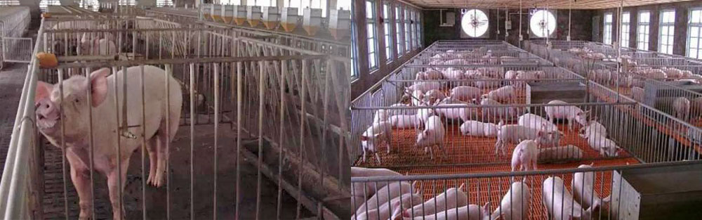 10 Important Factors to Consider in Designing and Constructing a Pig Farm -  Minxin Industrial